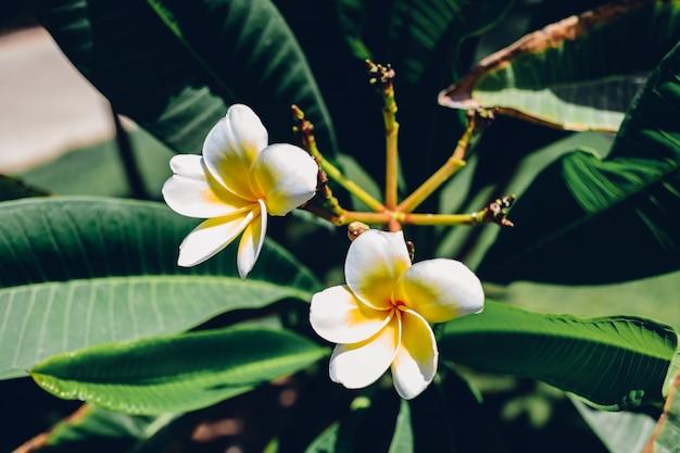 Białe kwiaty frangipani