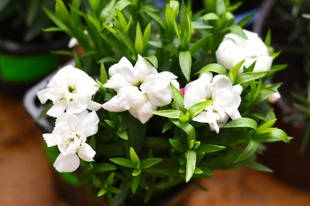 Białe kwiaty goździka rosnące w doniczce