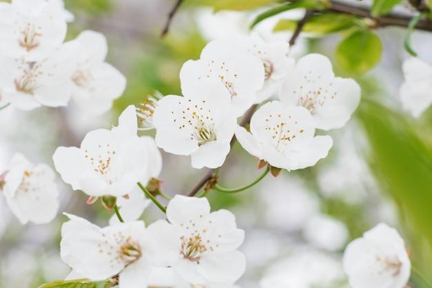 Białe kwiaty gruszek z bliska w wiosenny ogród. selektywne ustawianie ostrości.