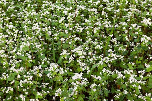 Białe kwiaty gryki podczas kwitnienia