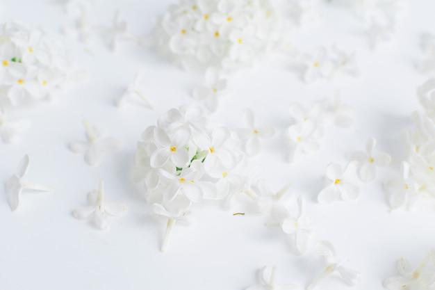 Białe kwiaty i kwiatostany czeremchy na białym