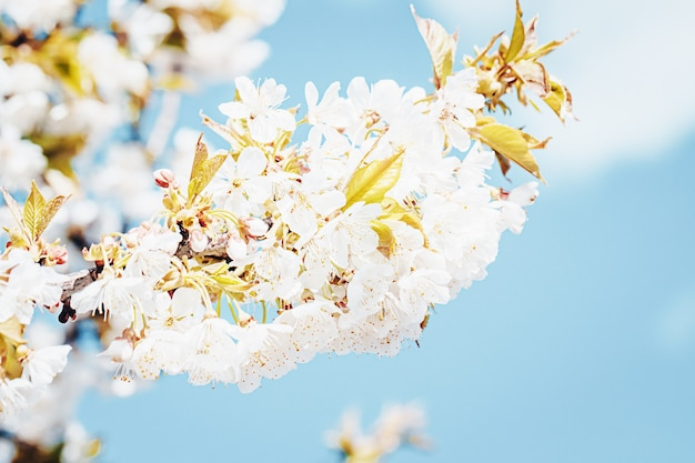 Białe kwiaty jabłoni kwitnące wiosną, czas wielkanocny na tle błękitnego nieba