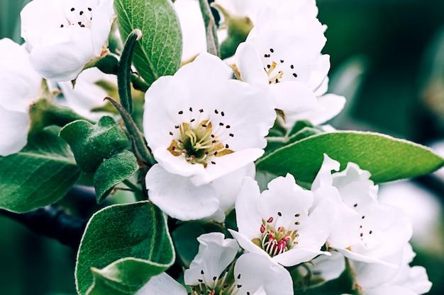 Białe kwiaty jabłoni kwitnące wiosną, wielkanoc w stosunku do naturalnych. selektywna ostrość.