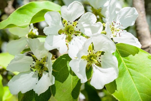 Białe kwiaty jabłoni. piękne kwitnące jabłonie. tło z kwitnących kwiatów w wiosenny dzień. kwitnąca jabłoń (malus domestica) zbliżenie. kwiat jabłoni. wiosna.