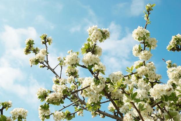 Białe kwiaty jabłoni z niebieskim niebem