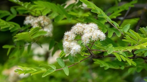 Białe kwiaty jarzębiny wśród zielonych liści