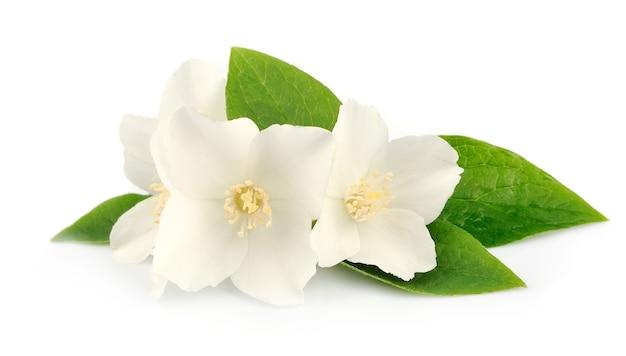 Białe kwiaty jaśminu na białym tle