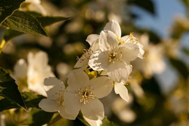 Białe kwiaty jaśminu sfotografowane z bliska