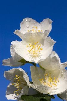 Białe kwiaty jaśminu