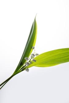 Białe kwiaty konwalii na białym tle