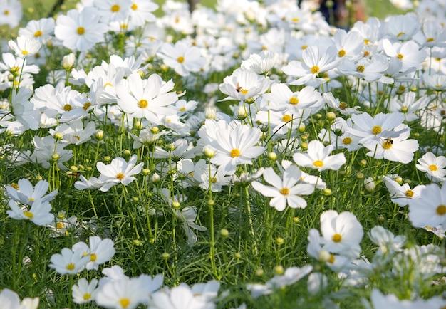 Białe kwiaty kosmosu