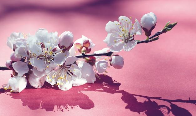 Białe kwiaty moreli na różowo