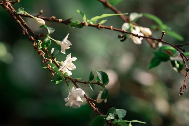 Białe kwiaty na drzewie