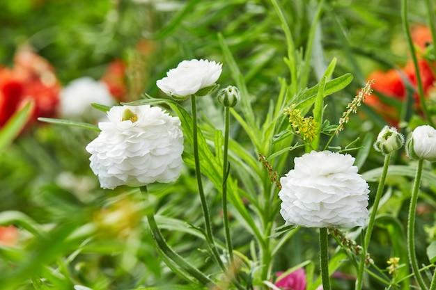Białe kwiaty na polu