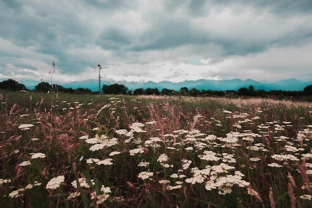 Białe kwiaty na zielonych polach