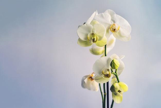 Białe kwiaty orchidei na niebieskim tle, kopia przestrzeń