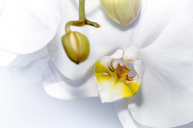 Białe kwiaty orchidei z żółtymi detalami i pąkami do otwarcia