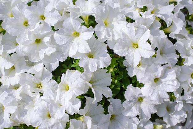 Białe kwiaty petunii w słońcu
