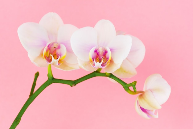 Białe kwiaty phalaenopsis na różowo