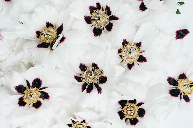 Białe kwiaty piwonii wzór. płaski układanie, widok z góry