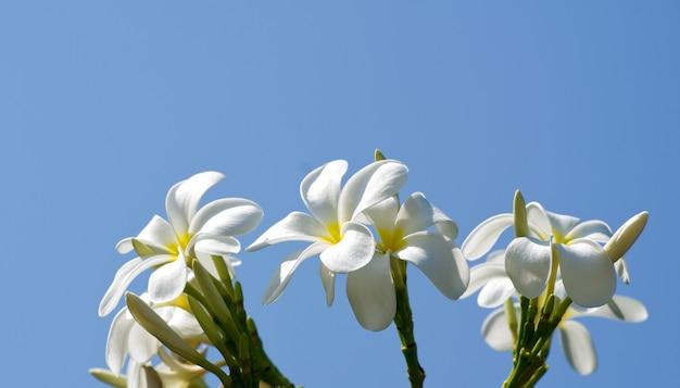 Białe kwiaty plumeria zbliżenie na zielonym tle