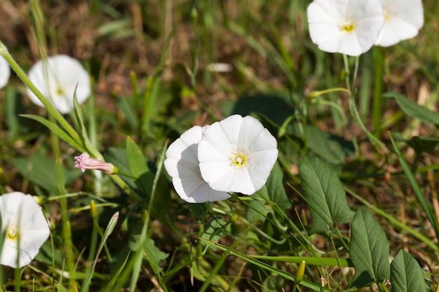Białe kwiaty rosnące wiosną i latem