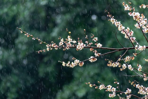 Białe kwiaty śliwy na zielonym tle w deszczu
