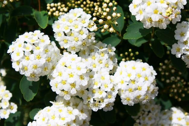 Białe kwiaty spirea vanhoutte