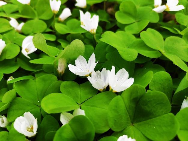 Białe kwiaty w zielonych liści z bliska