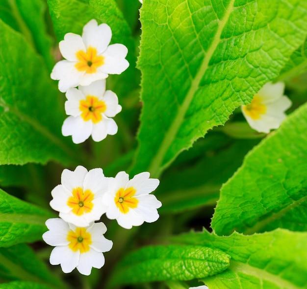 Białe kwiaty wiesiołka na zielonych liściach, zbliżenie z góry