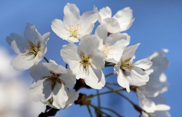Białe kwiaty wiśni kwitnące na drzewie z rozmytym tłem wiosną