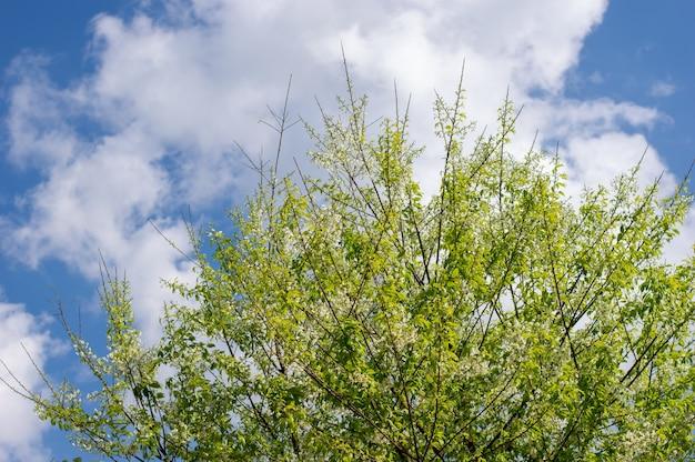 Białe kwiaty wiśni kwitnące na tle błękitnego nieba