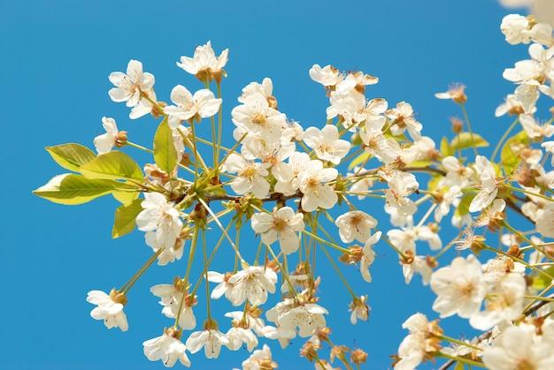 Białe kwiaty wiśni na tle niebieskiego nieba