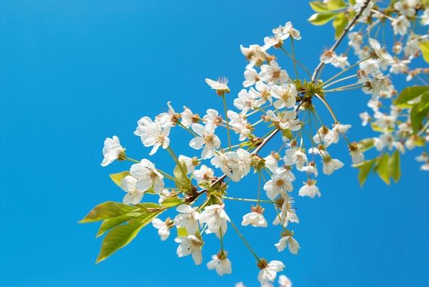Białe kwiaty wiśni z niebieskim niebem