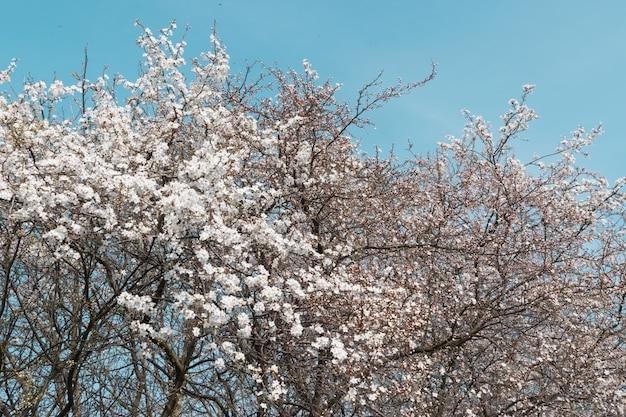 Białe kwiaty wiśniowego drzewa w ogrodzie wiosną na tle nieba