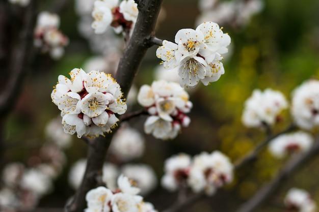 Białe kwiaty wiśniowego drzewa, wiosna.