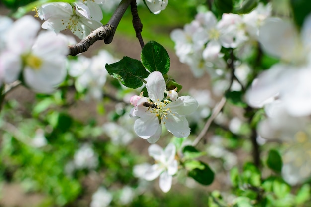 Białe kwiaty z jabłoni pszczoły