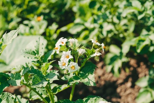 Białe kwiaty ziemniaków na polu. kwitnące ziemniaki w ogrodzie. zbieraj ziemniaki. suchy rok bez żniw