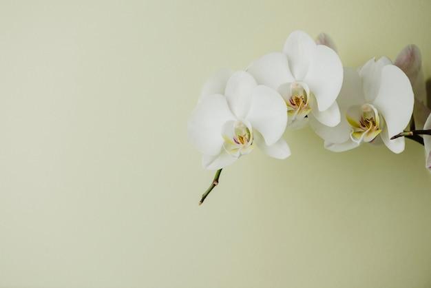 Białe kwitnące orchidee