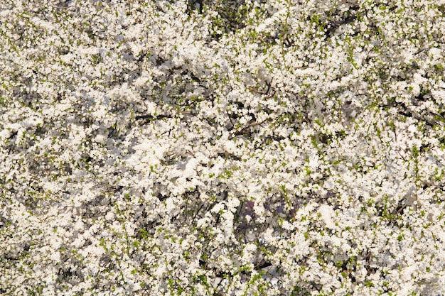Białe kwitnące wiśniowe drzewo (tło wiosna)