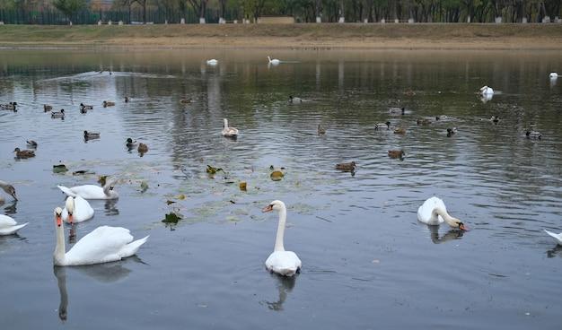 Białe łabędzie i kaczki pływają jesienią w małym stawie
