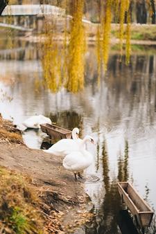 Białe łabędzie na jeziorze jesień park żółte liście na drzewach