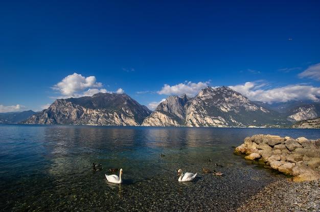 Białe łabędzie na jeziorze lago di garda w alpejskiej scenerii. włochy.