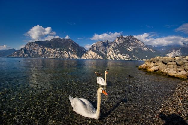 Białe łabędzie na jeziorze lago di garda w alpejskiej scenerii