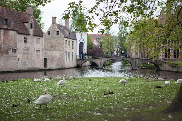 Białe łabędzie na stawie brugia, belgia