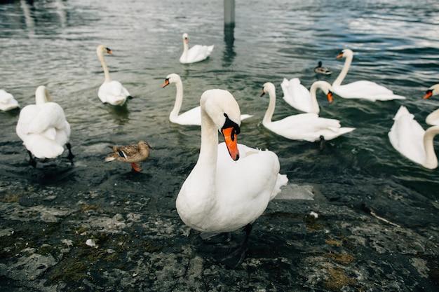 Białe łabędzie. piękny biały łabędź na jeziorze. karmienie łabędzi na nabrzeżu