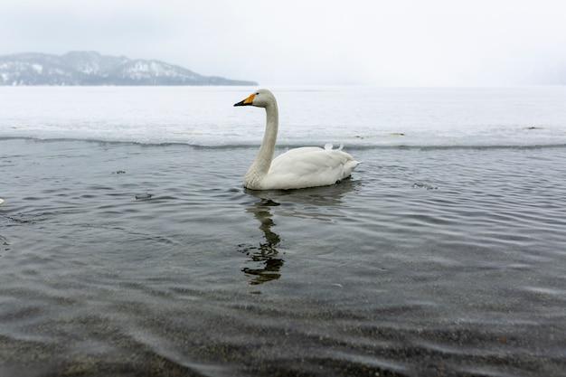 Białe łabędzie pływające w niezamarzającym zimowym jeziorze w japonii