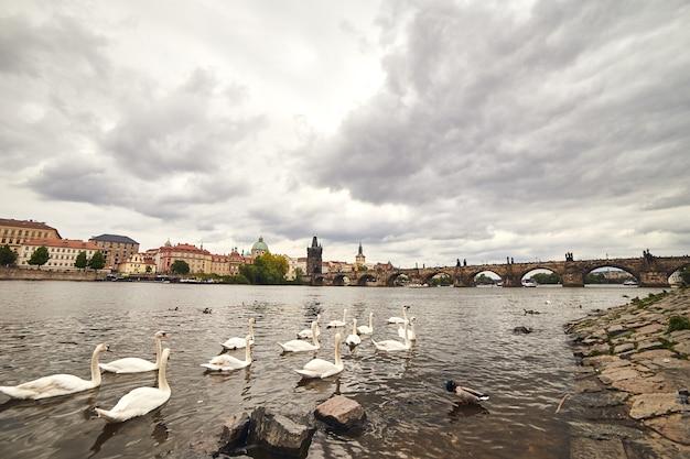 Białe łabędzie w pradze nad wełtawą, obok mostu karola, czechy