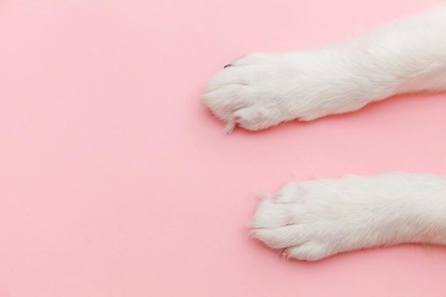 Białe łapy szczeniaka na białym tle na różowym pastelowym modnym tle