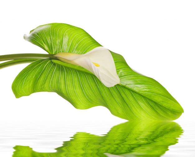 Białe lilie calla z liściem